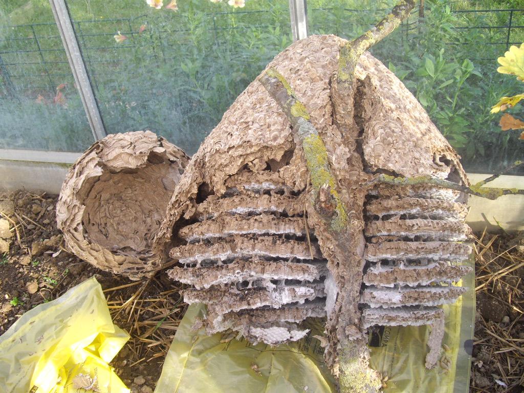 Le nid de frelons asiatiques ecole sainte famille varades - Comment detruire un nid de frelons ...